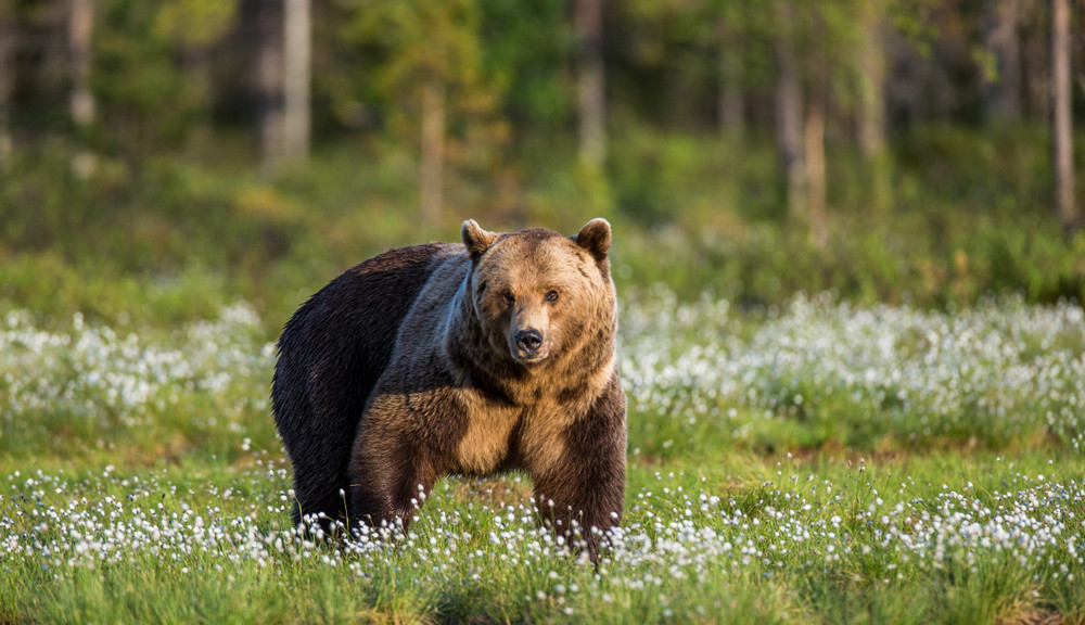 Brown bear population dips in Finland