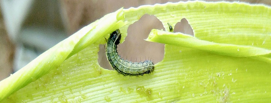 Indonesia prepares for battle with fall armyworm
