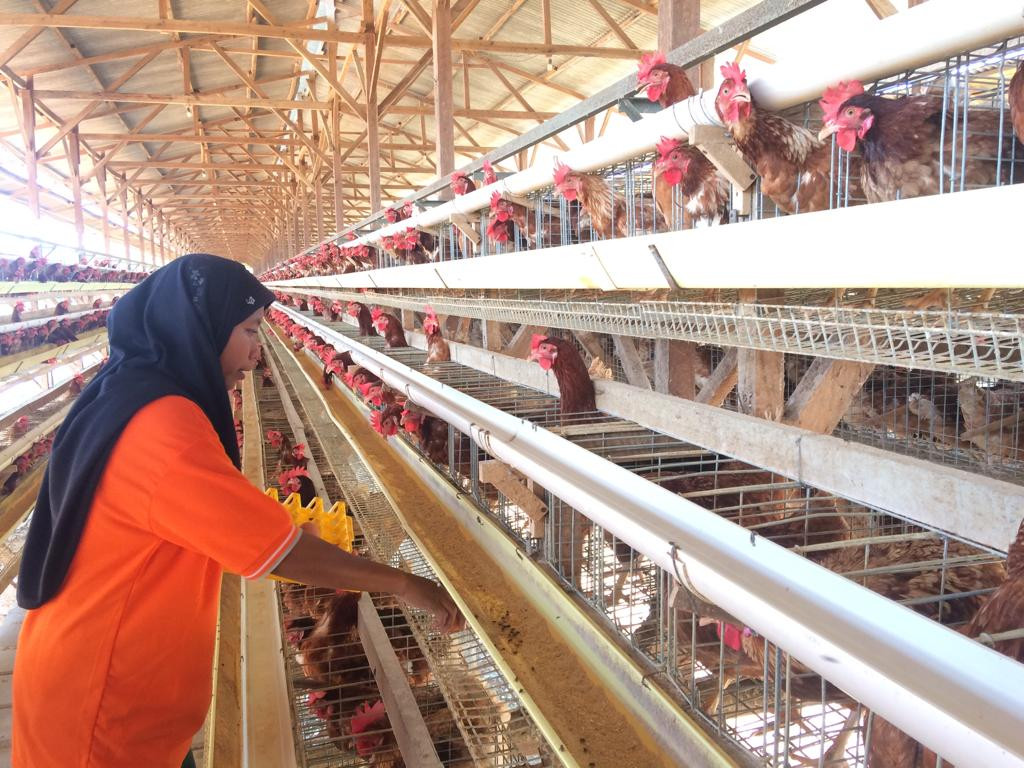 To curb drug resistance in humans, Lampung farm produces eggs without antibiotics