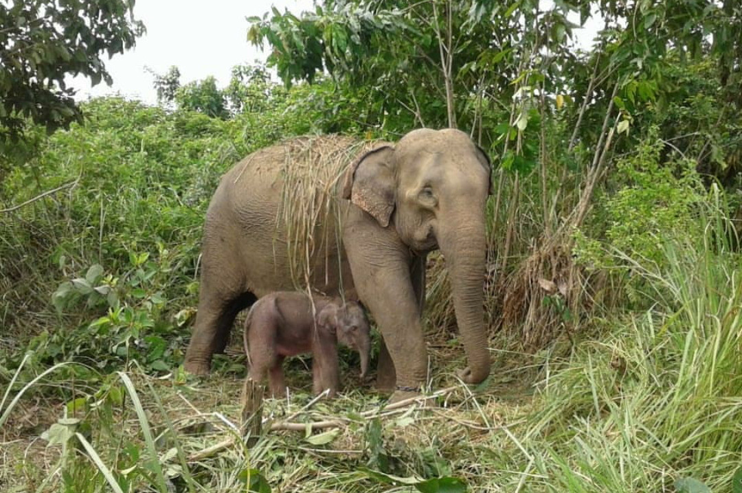 Riau elephant calf Puan dies from complications on Valentine's Day