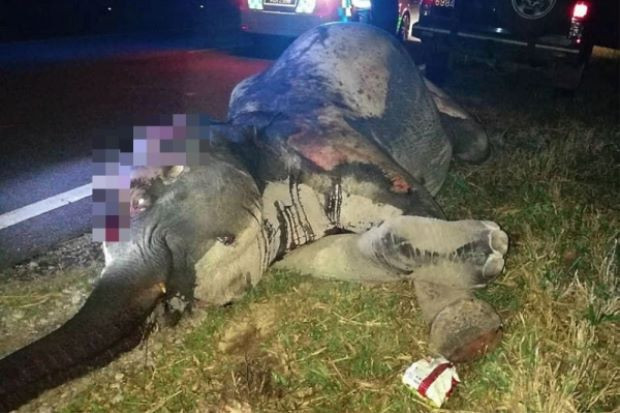 Wild elephant dies after being run over by lorry in Hulu Terengganu