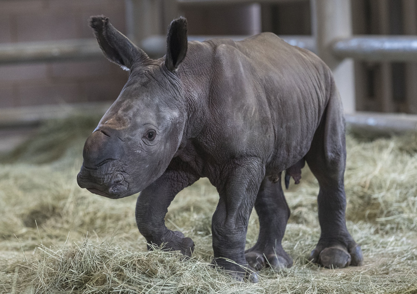 Southern white rhino born at US zoo, could help save species