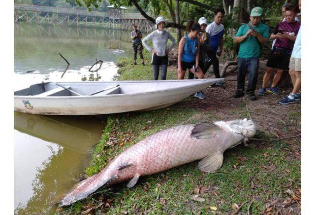 Fish from Amazon found dead in Malaysia lake