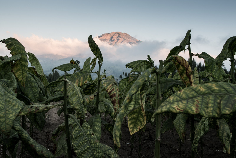 The rich tobacco fields of Central Java and the cloud-ringed summit of Mount Sumbing. JP/Dottie Bond