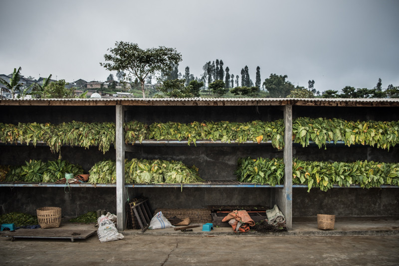 Newly cut tobacco waits to be processed in Bowongso, a tiny village set amidst verdant tobacco fields and active volcanoes. JP/Dottie Bond