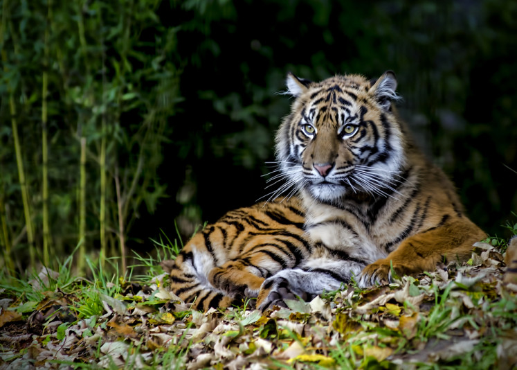 Five arrested in Riau as authorities seize four Sumatran tiger fetuses in jar, dried skin