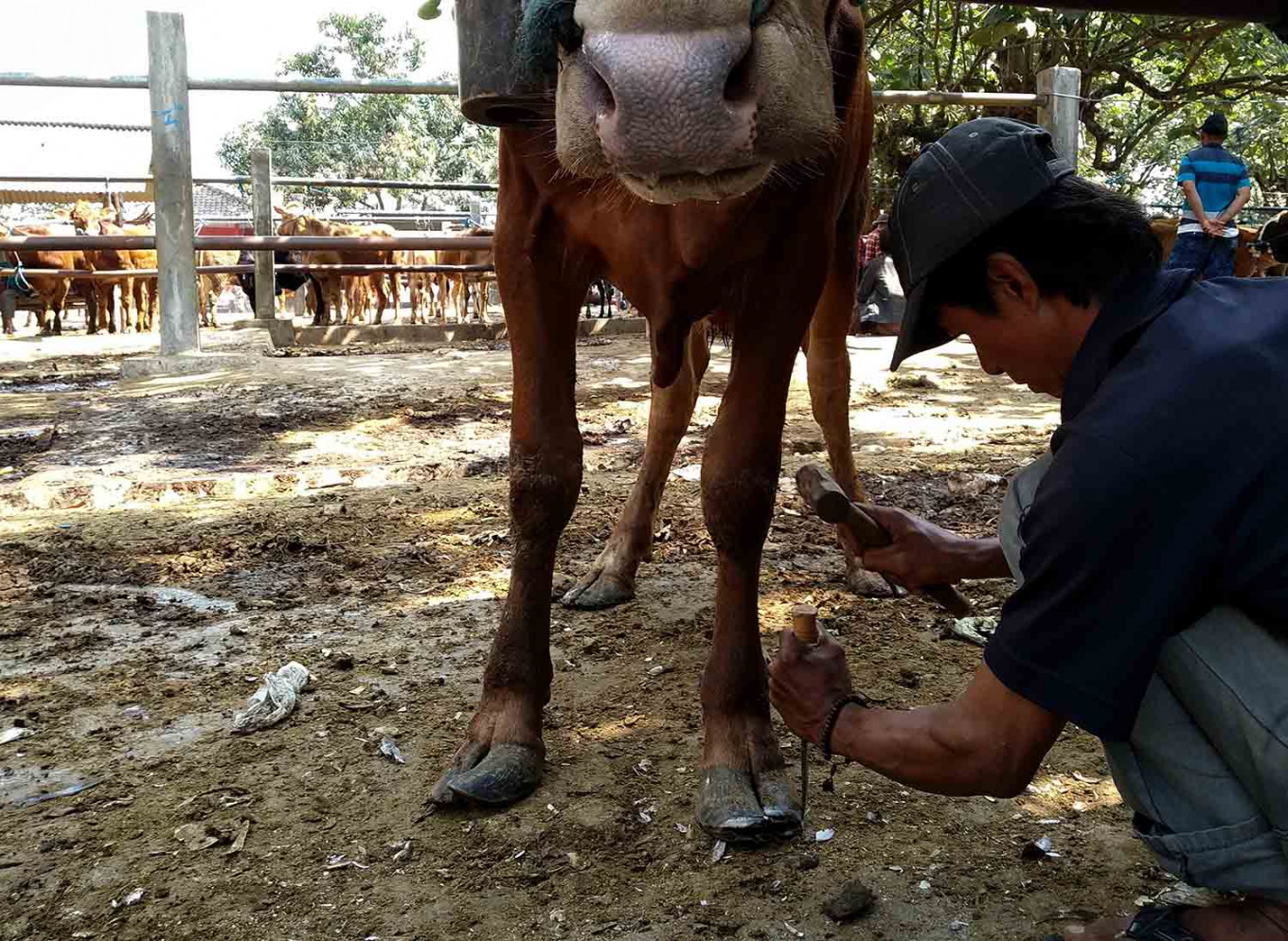Dwi trims the hoof of a cow using a chisel that is otherwise commonly used by carpenters. JP/Asip Hasani