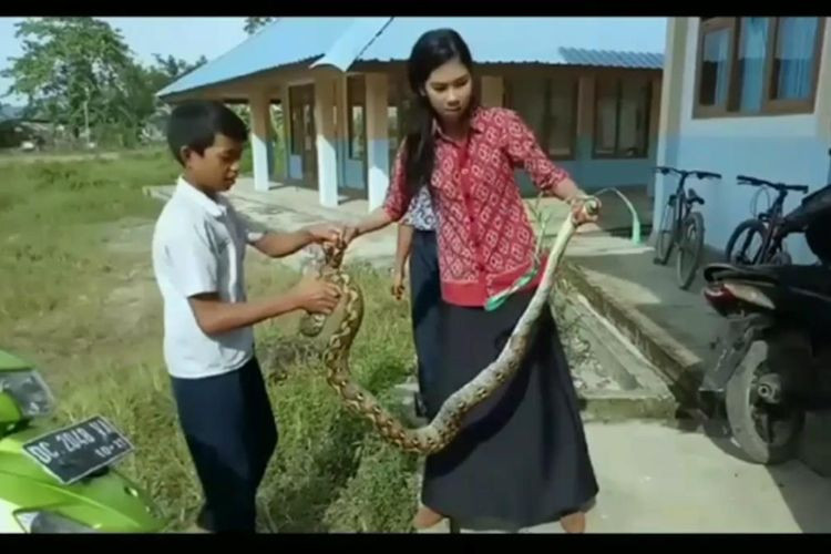 Teacher captures python with bare hands in West Sulawesi