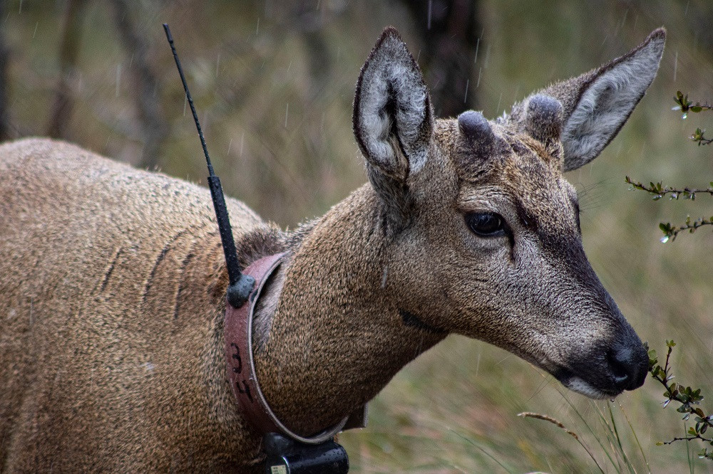 Captive breeding employed to rescue Chile's national animal, a shy deer