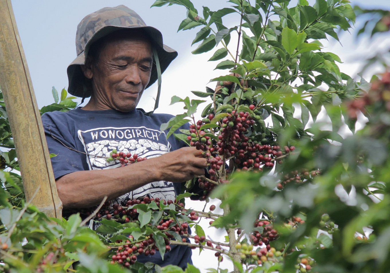 Coffee farmer Sular checks his coffee plants in Sumber Village, Bulukerto, Wonogiri, Central Java.