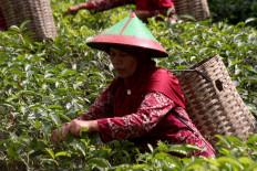 A tea farmer is seen working in the field. JP/Maksum Nur Fauzan