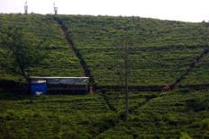 Villagers pass through a tea plantation in Kemuning in Karanganyar, Central Java.  JP/Maksum Nur Fauzan