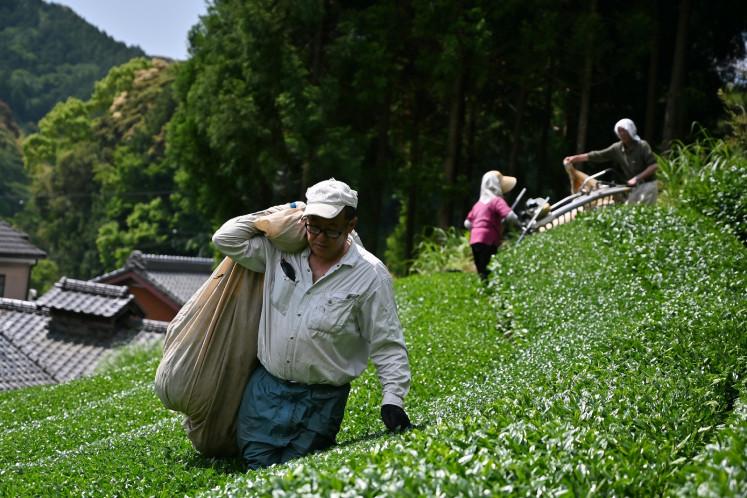 This photo taken on May 16, 2019 shows farmers harvesting matcha tea leaves in Fujieda, Shizuoka prefecture.