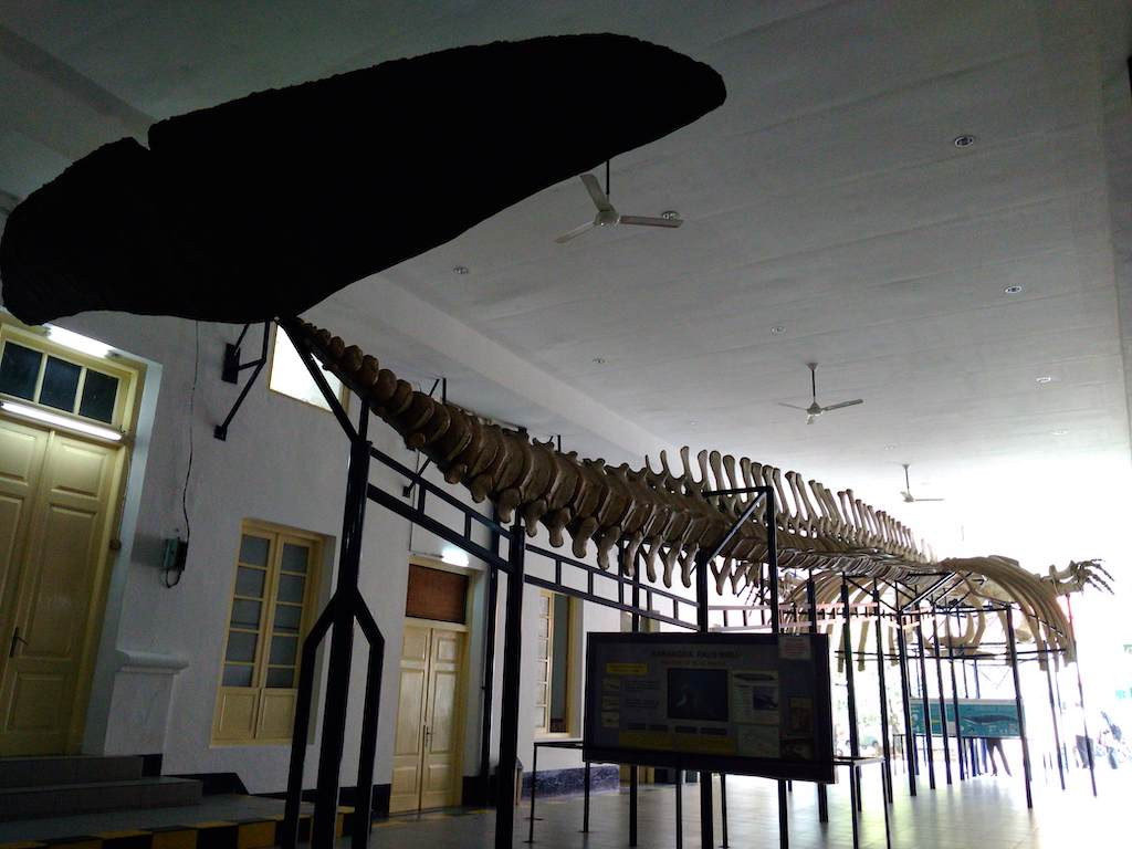 The skeleton of a blue whale is on display at the old Bogor Zoology Museum in Bogor, West Java.