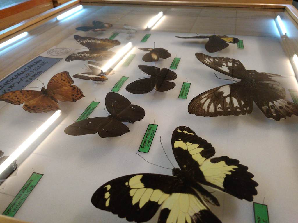 Part of the museum's collection of butterflies.