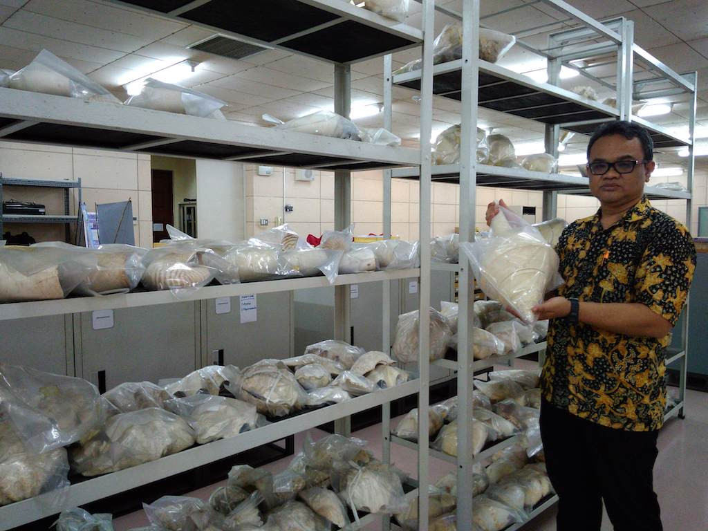Researcher Hidayat Ashari shows off the museum's collection of conches, holding one from Papua.