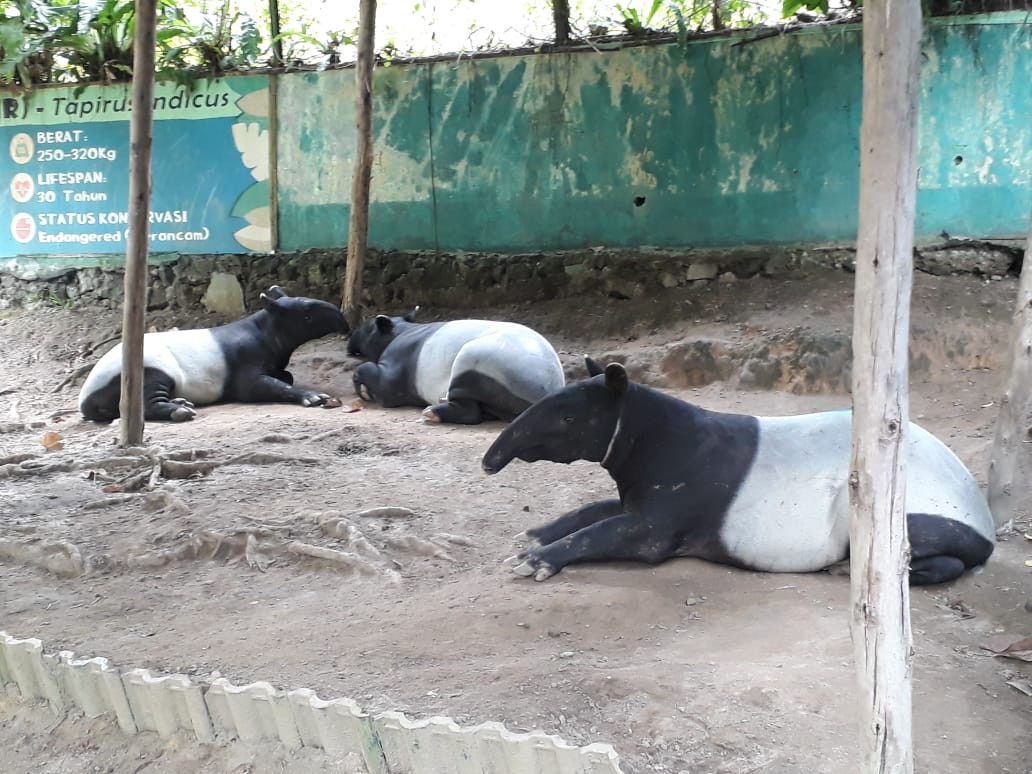 North Sumatra tapir to be returned to wild after giving birth