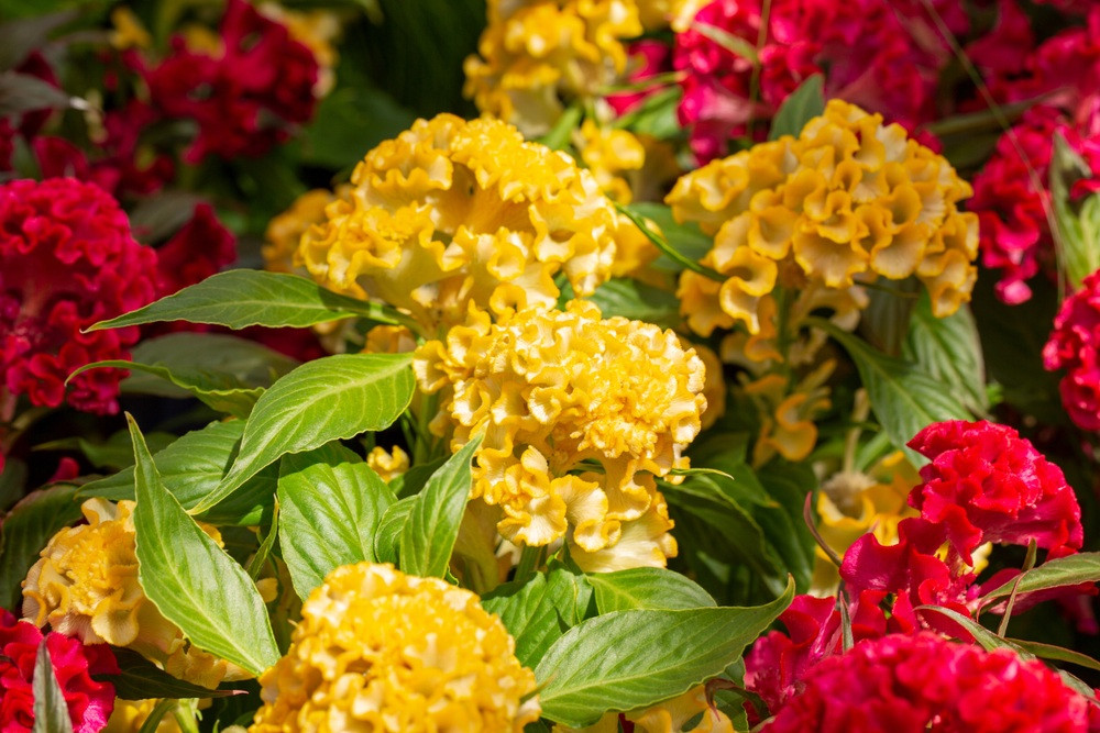 Newly opened celosia flower park seeks to lure tourists to Kudus