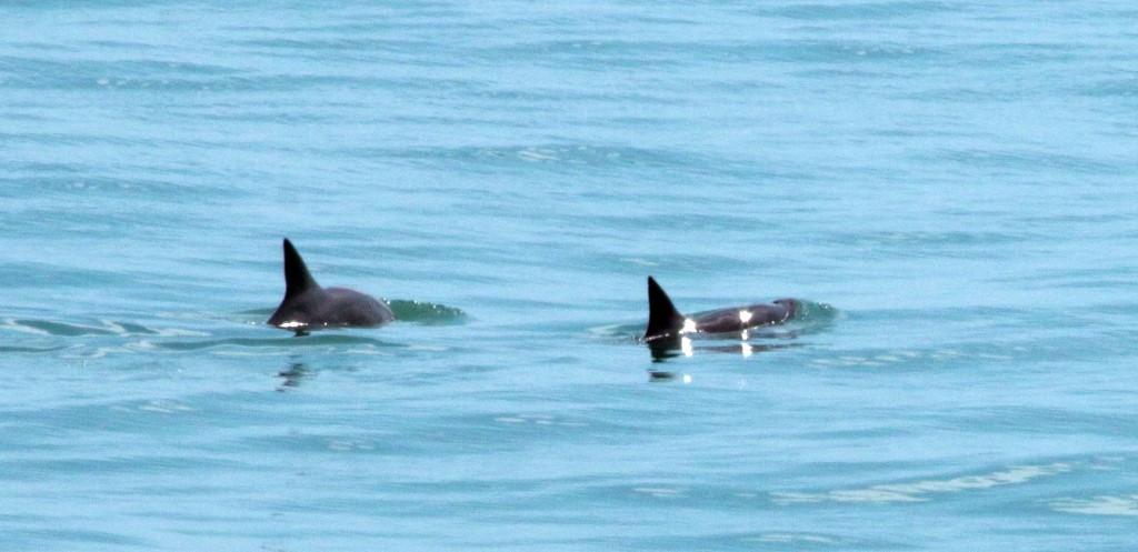 Scientists spot six near-extinct vaquita marinas