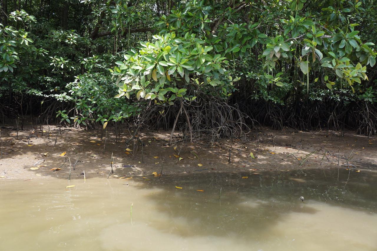A closer look at mangrove shrubs in mudflats at the Graha Indah mangrove center in Balikpapan, East Kalimantan