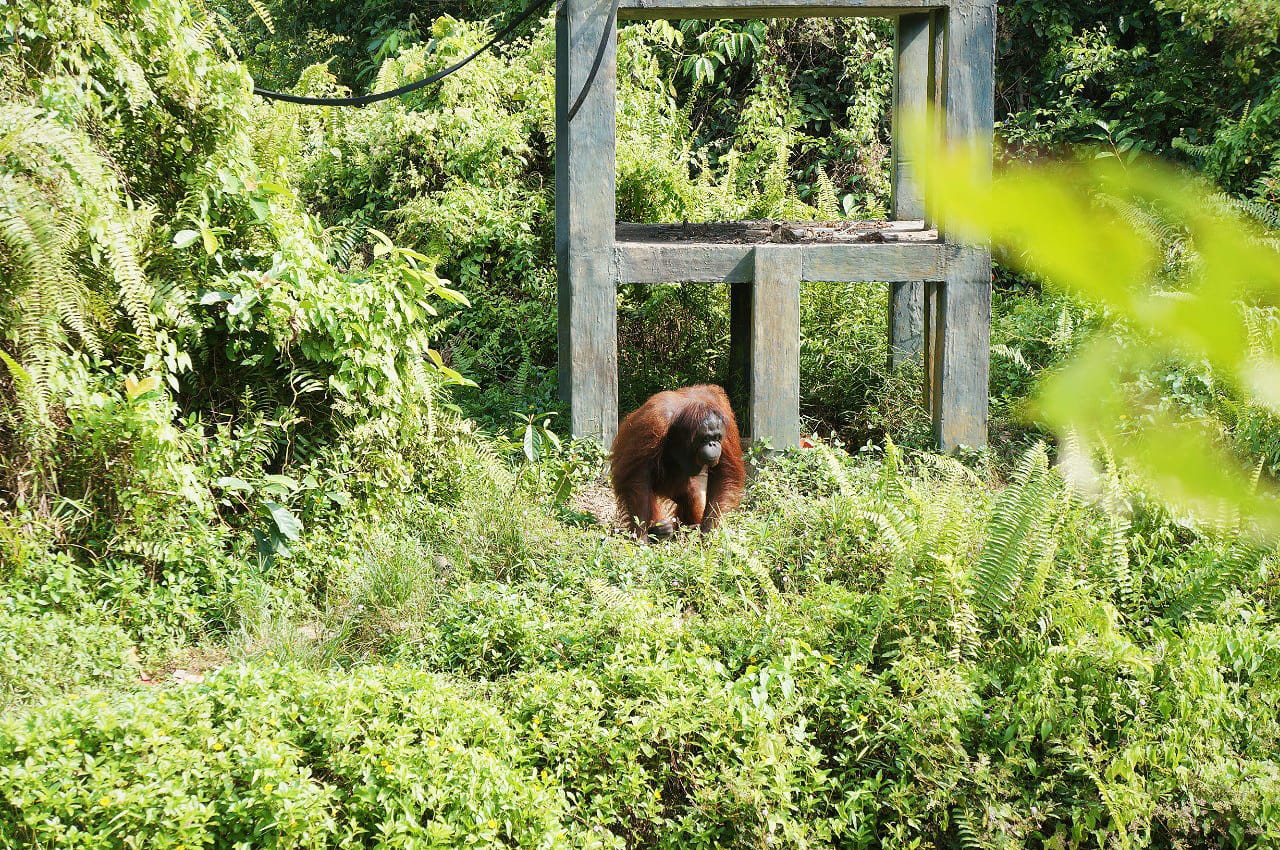Getting ready for the jungle: Story of Rambo and other orangutans at Samboja Lestari