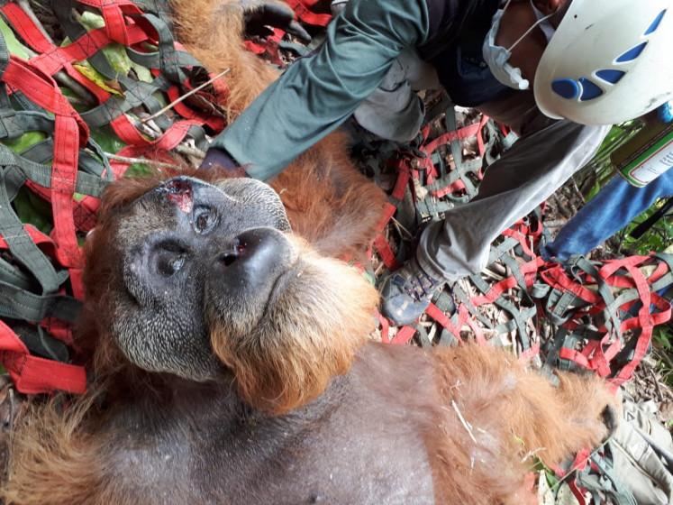 Endangered Tapanuli orangutan found malnourished, injured out of habitat near Batang Toru