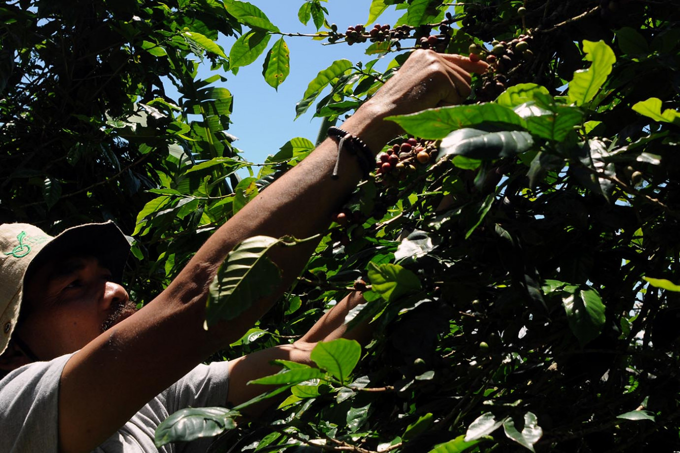 Sukiman harvests Arabica coffee beans on his plantation on Thursday. Sukiman started cultivating coffee in Deles village, Klaten regency, Central Java, in 2014. JP/Magnus Hendratmo