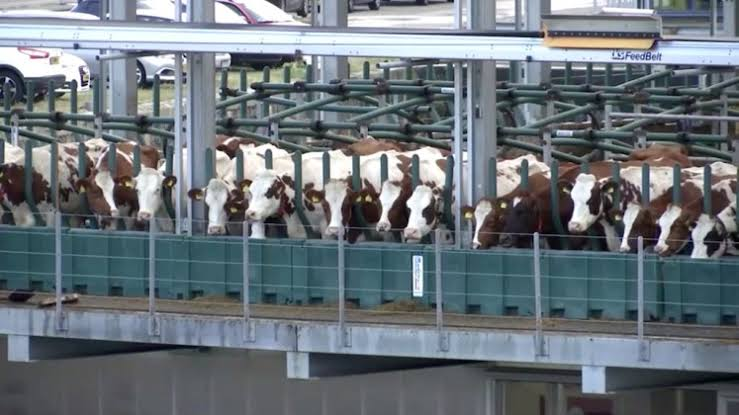 Moo-ving to the future? Cows try 'Floating Farm' in Rotterdam