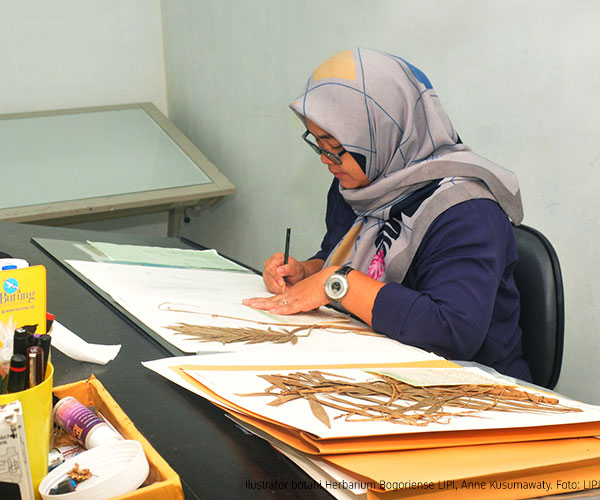 'It won't be in vain': The only female botanical illustrator at LIPI shares hardship, passion