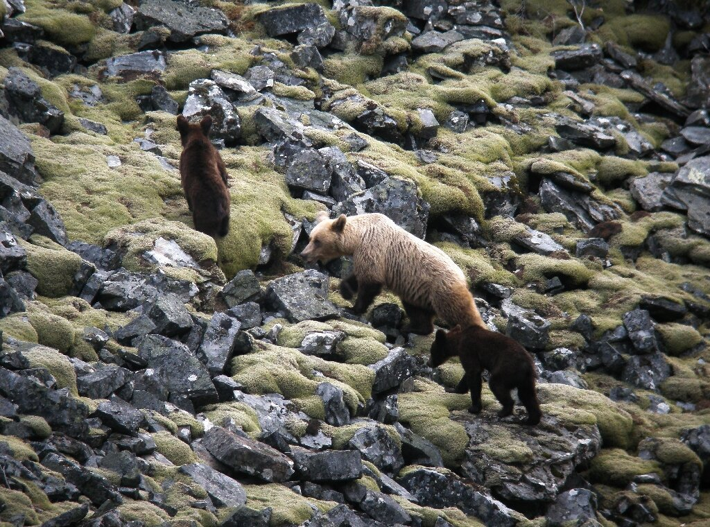 In northwest Spain, conservation efforts pay off as bears thrive