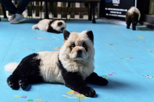 Panda Dog Cafe Sparks China Animal
