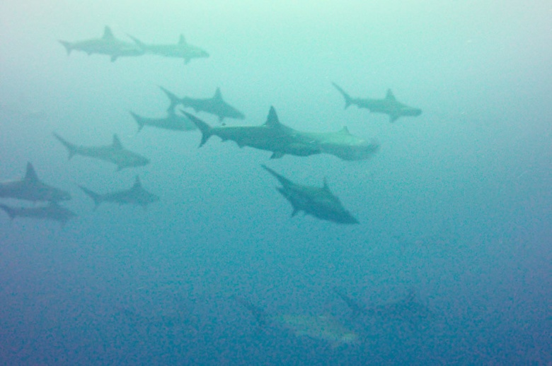 Bonding: Hammerhead sharks swim in groups in the waters around Serua Island, Maluku.