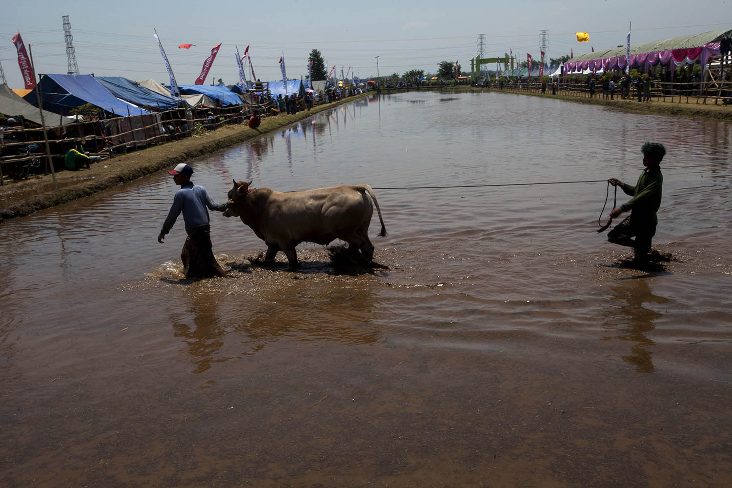 Two participants move a bull across the arena. JP/Sigit Pamungkas