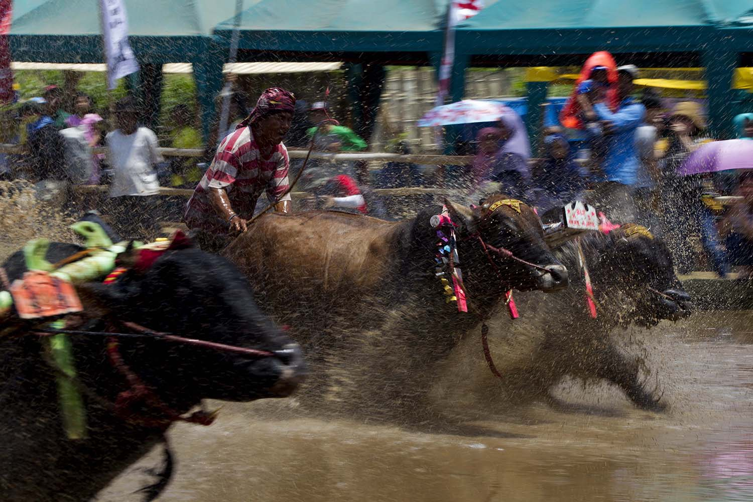 Participants charge across the wet field with their bulls. JP/Sigit Pamungkas