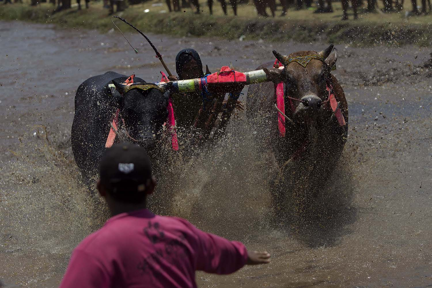 A rider controls his bulls as they are about to cross the finish line while a helper tries to keep them from exiting the arena to protect spectators and other participants. JP/Sigit Pamungkas