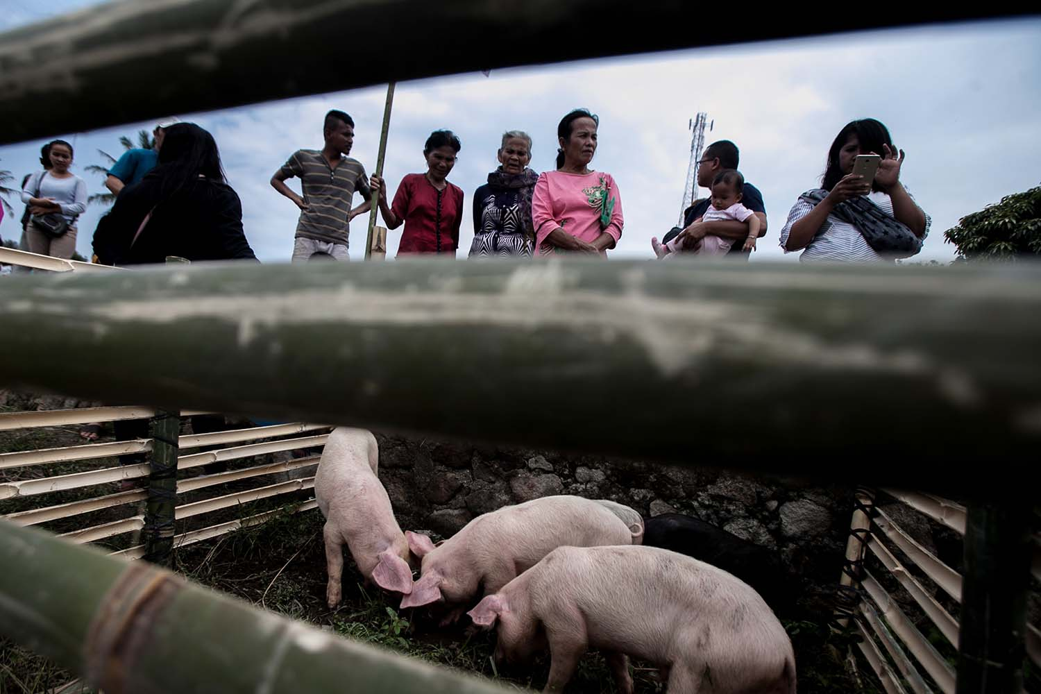 A sense of community: Visitors look at pigs in their makeshift cage in Muara district, North Tapanuli, North Sumatra, on Oct. 25. JP/Andri Ginting