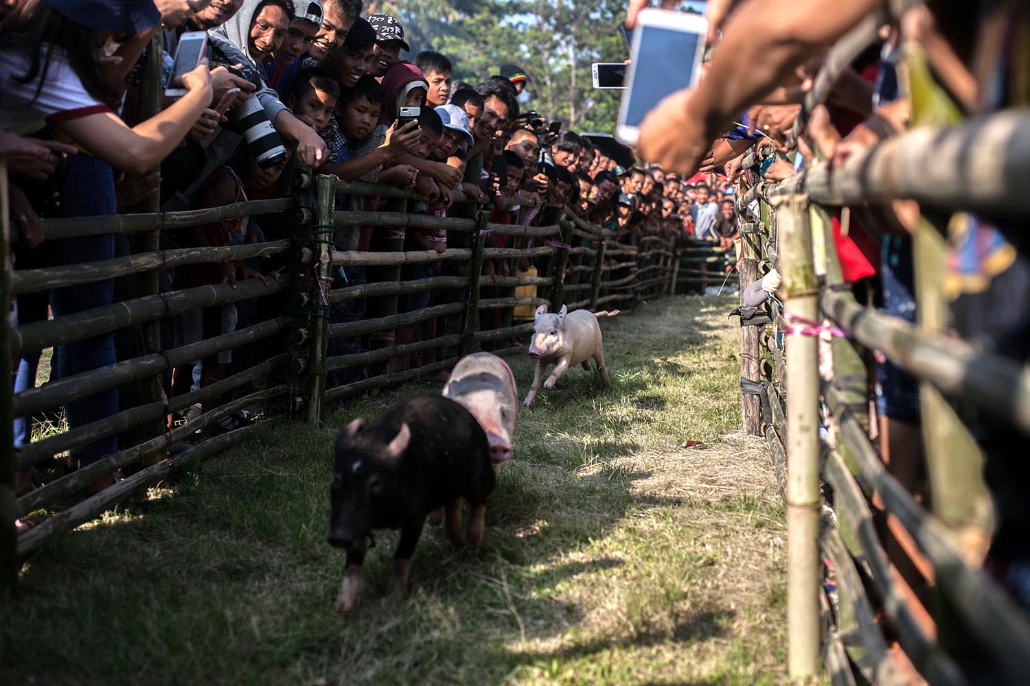 Faster, harder: Spectators watch the pig race competition. JP/Andri Ginting