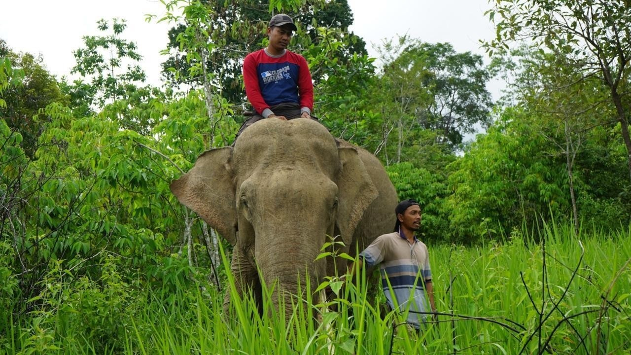 Lend a helping trunk: Tamed elephants deployed to protect PLN towers in Aceh