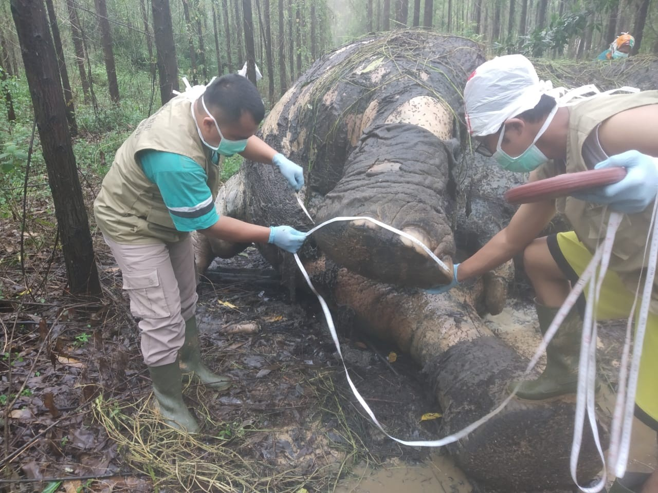 Wild elephant found dead with severed tusks, trunk in concession area in Riau