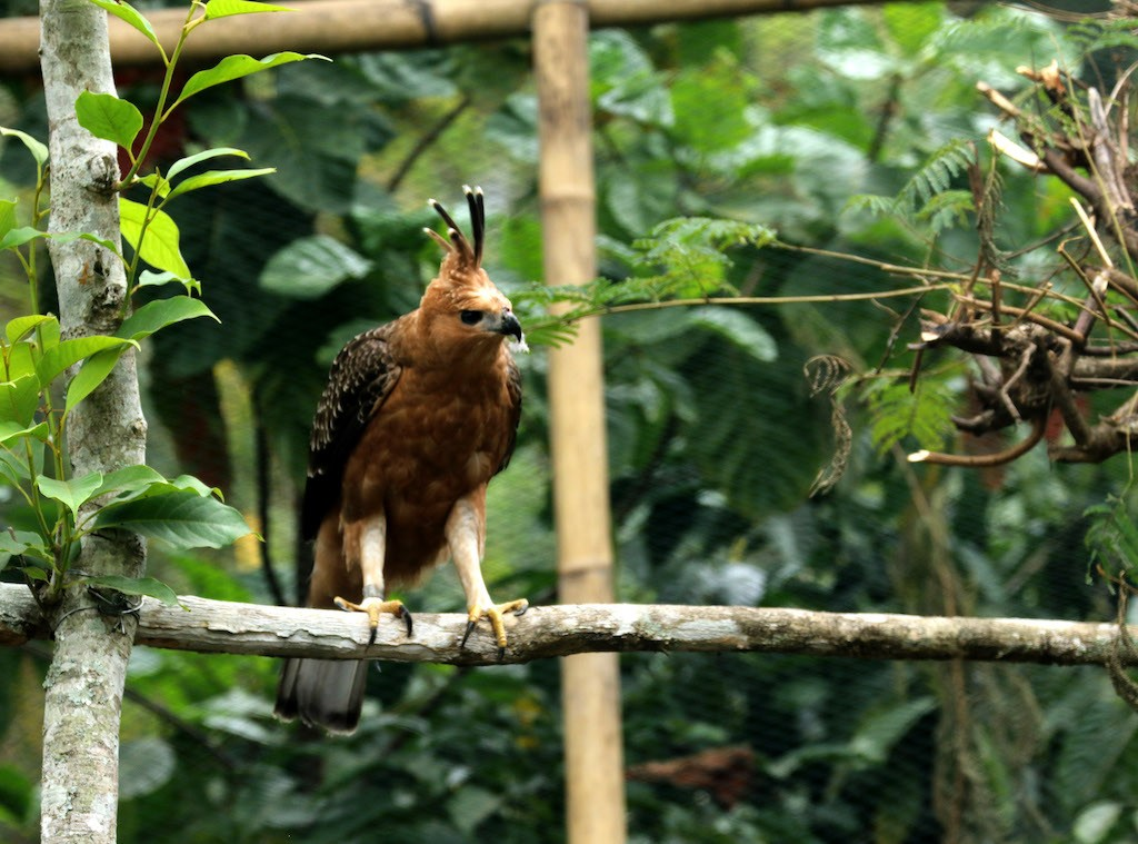 Javan hawk-eagle released in Mt. Wilis forest amid poaching, trafficking risk