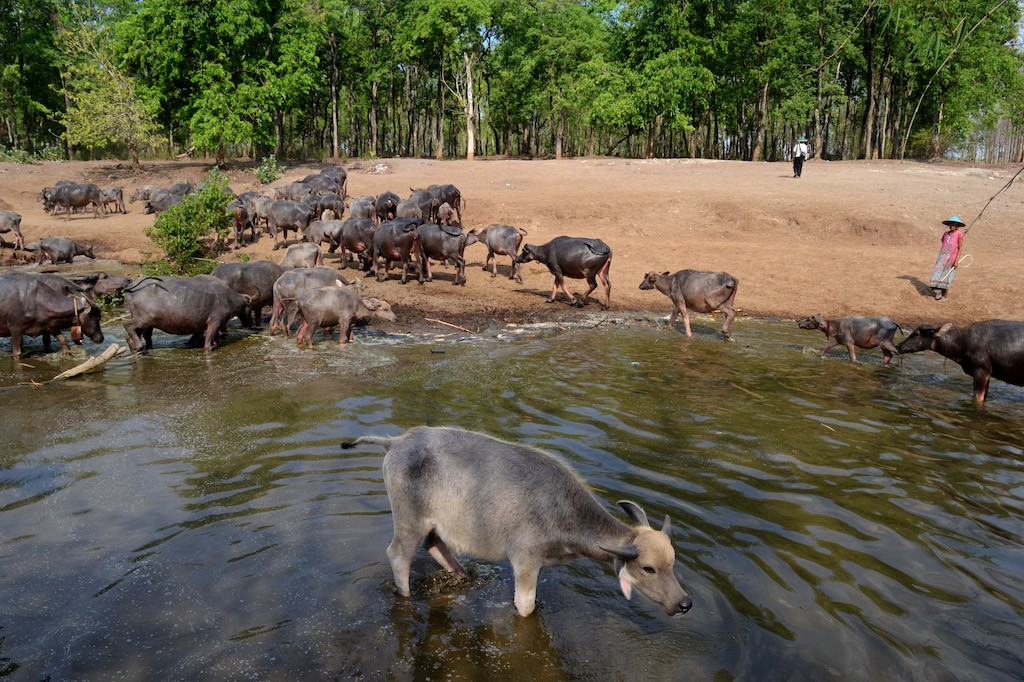 Buffaloes stand in and around the river near a forest at Bulak Pepe buffalo village at Banyubiru in Ngawi regency, East Java.