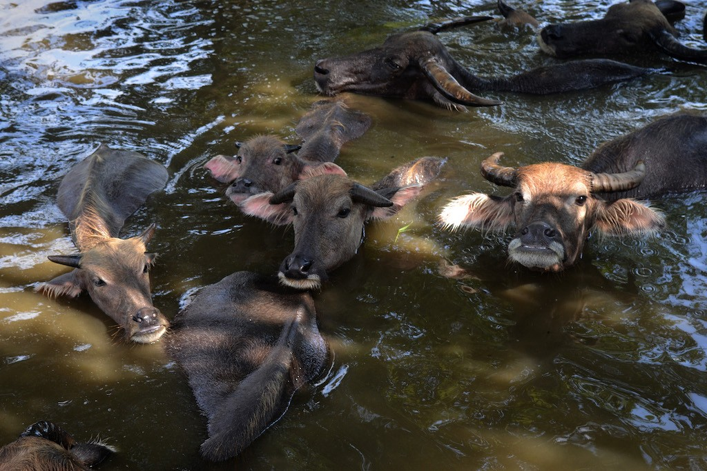 For the farmers and residents of Banyubiru, herding buffaloes to soak in the river is obligatory, especially during the dry season. Buffaloes cannot stand too much heat, which is why their natural habitat usually near rivers or swamp.