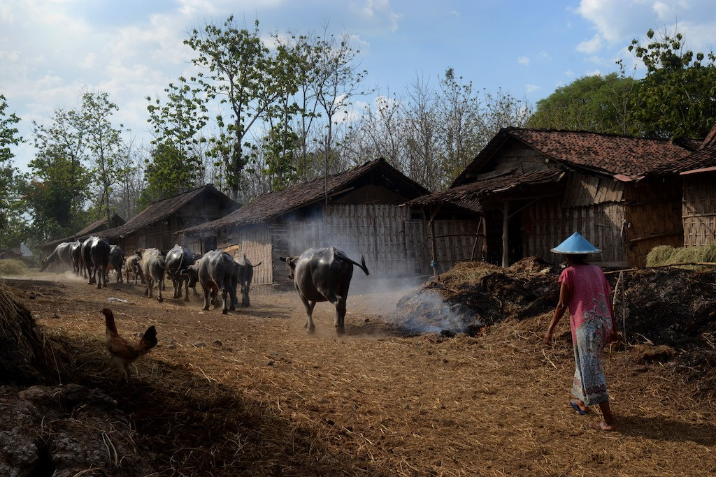 Buffaloes of Bulak Pepe at Banyubiru village in Ngawi regency, East Java, are herded back to their barns in the late afternoon.