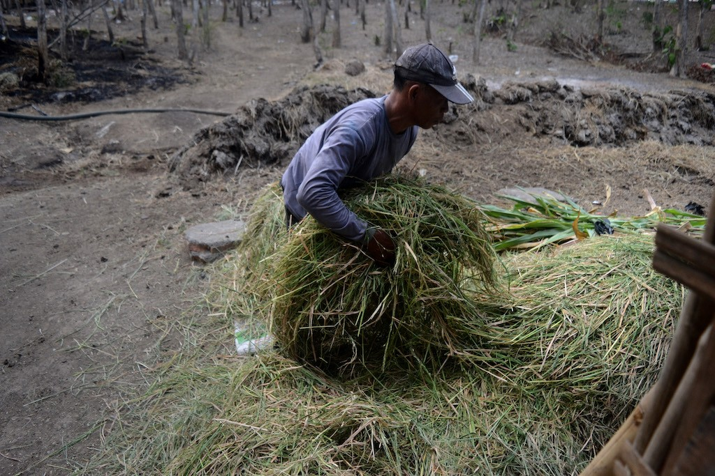 Suraya, a buffalo farmer from Banyubiru village, gathers grass to feed his cattle.
