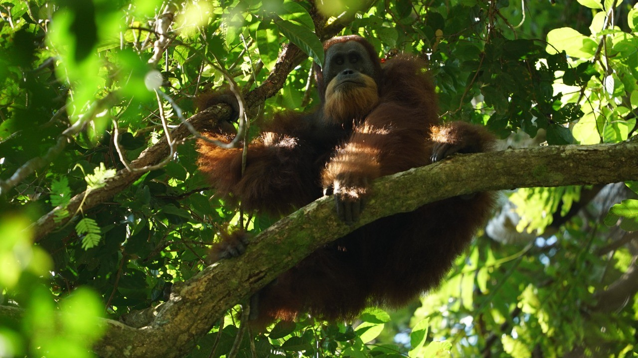 Mt. Leuser park rangers save two young orangutans from smuggler