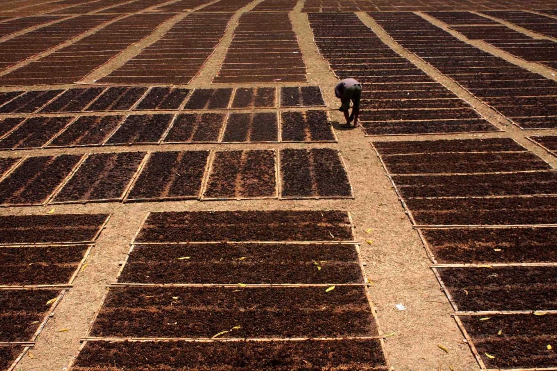 A farmer checks his tobacco. JP/Maksum Nur Fauzan
