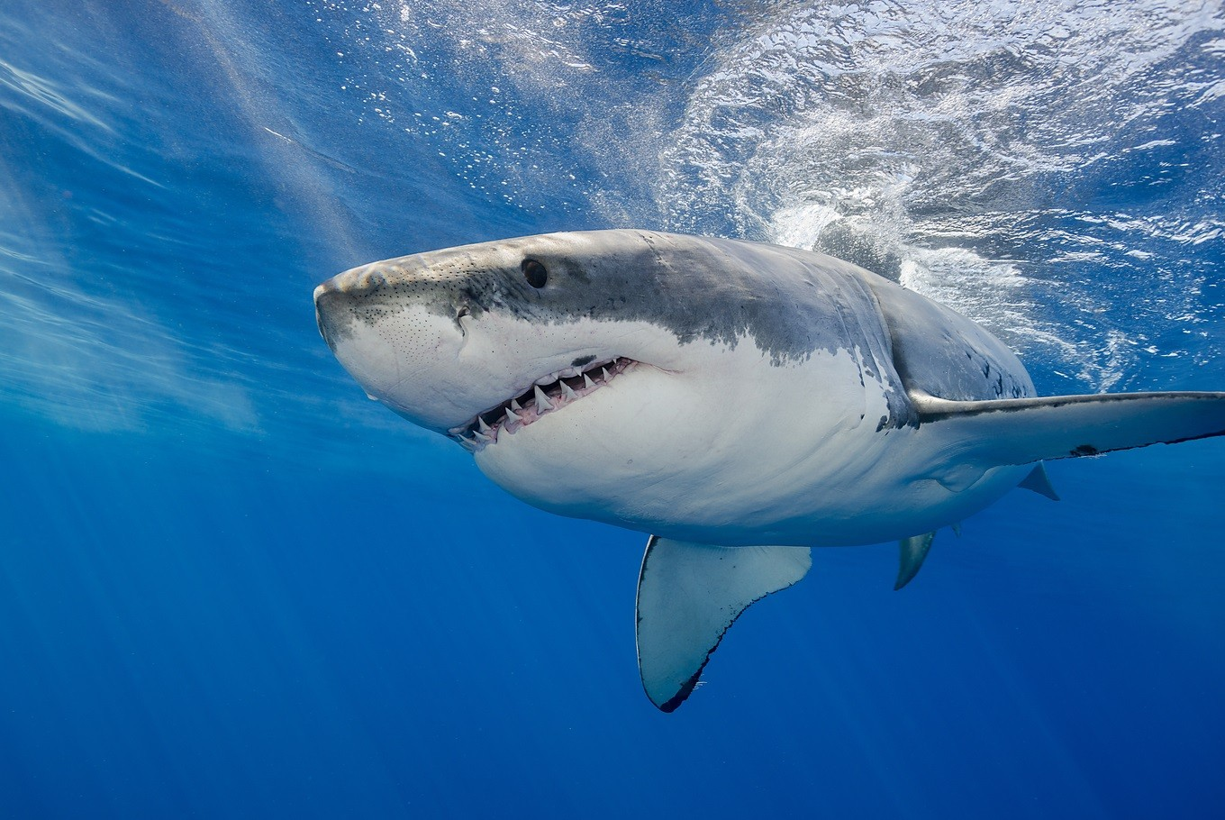 This is why you won't find great white sharks in aquariums