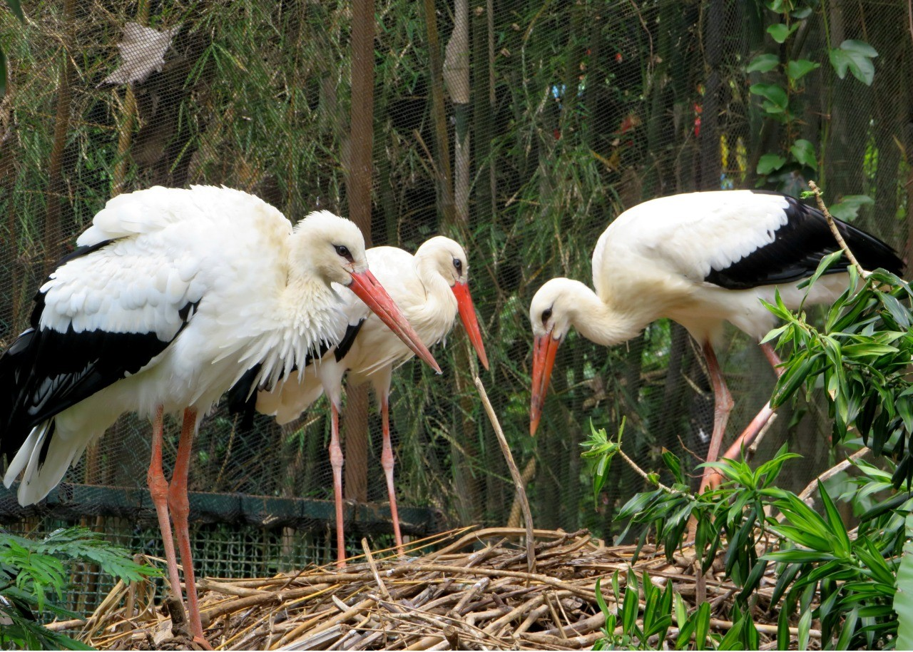 Polish white stork hatches in East Java zoo