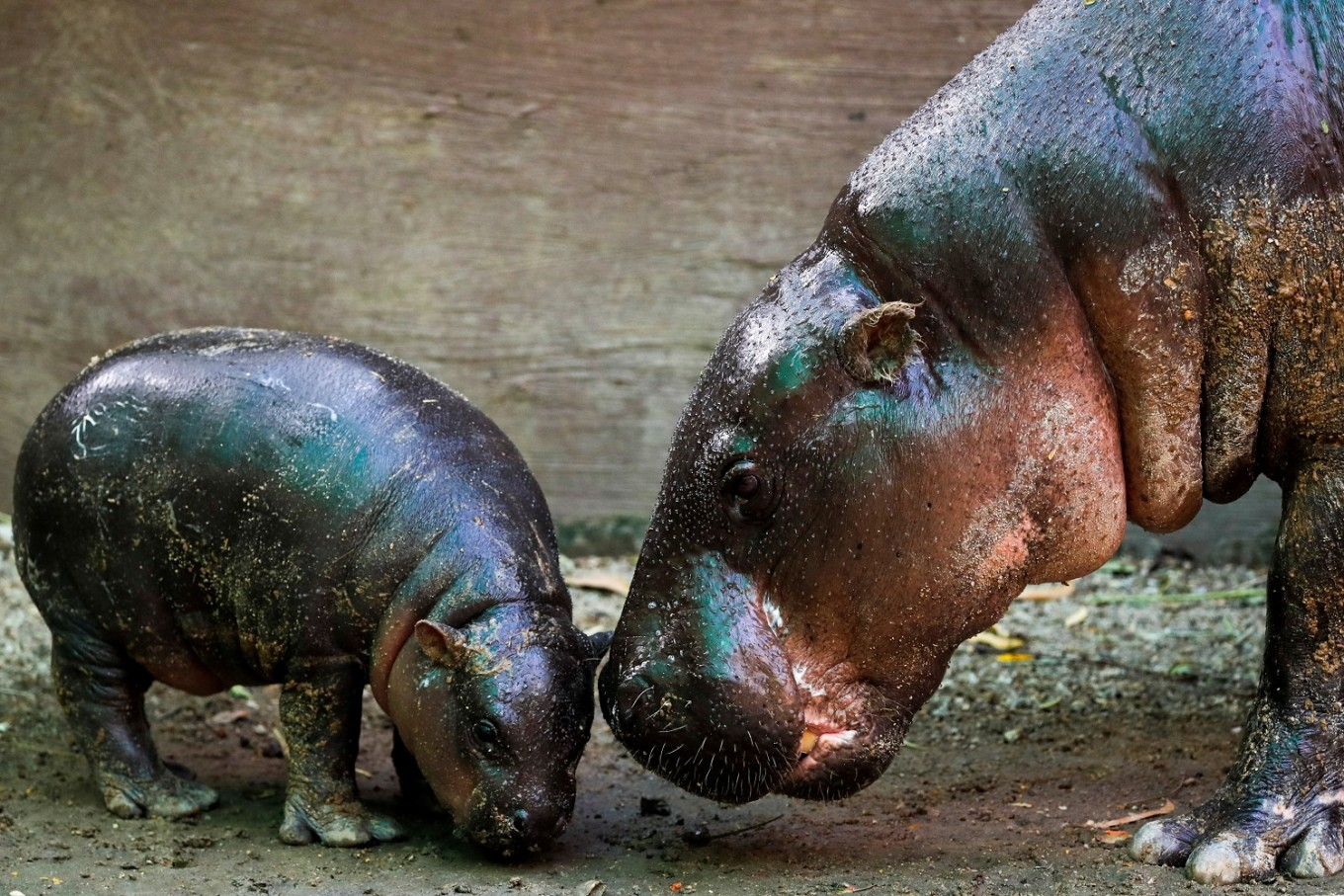 A question of taste in Thai contest to name baby pygmy hippo