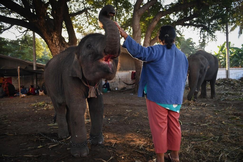 Elephants in Thailand 'broken' for lucrative animal tourism